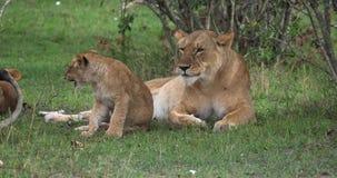 León, panthera leo, madre y Cub africanos, Masai Mara Park en Kenia, metrajes