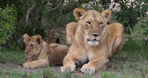 León, panthera leo, madre y Cub africanos, Masai Mara Park en Kenia, almacen de metraje de vídeo