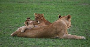 León, panthera leo, madre y Cub africanos que juega, Masai Mara Park en Kenia, almacen de metraje de vídeo