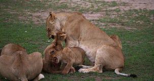 León, panthera leo, madre y Cub africanos que juega, Masai Mara Park en Kenia, metrajes
