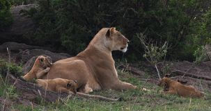 León, panthera leo, madre y Cubs africanos, Masai Mara Park en Kenia, almacen de video