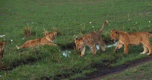 León, panthera leo, madre y Cubs africanos, Masai Mara Park en Kenia, almacen de metraje de vídeo