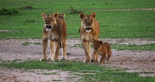 León, panthera leo, madres y Cubs africanos, Masai Mara Park en Kenia, almacen de video