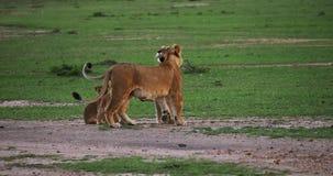 León, panthera leo, madres y Cubs africanos, Masai Mara Park en Kenia, metrajes