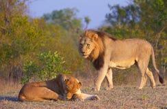 León (panthera leo) y leona Fotografía de archivo