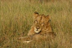 León perezoso que pone en la hierba que mira hacia espectador en luz de oro de la mañana imagen de archivo