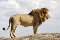 León (Phantera leo) Fotografía de archivo