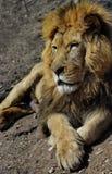 León - Phantera leo Imagen de archivo libre de regalías