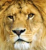 León poderoso hermoso fotografía de archivo