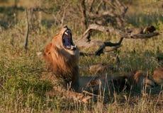 León que bosteza en el yermo africano Fotos de archivo