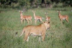 León que camina delante de una manada de impalas imagenes de archivo