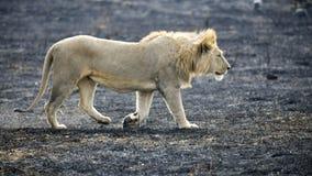 León que camina en el cráter de Ngorongoro en un área de la quemadura del control Fotografía de archivo