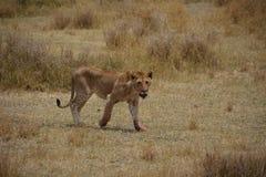 León que camina en el safari Tanzania Fotos de archivo