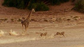 León que caza una jirafa en reserva de la fauna de Etosha en Namibia fotos de archivo