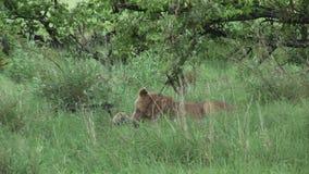 León que come el toro en sangre después de cazar la sabana peligrosa salvaje Kenia de África del mamífero almacen de metraje de vídeo