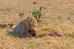 León que come el wildebeest Imagen de archivo libre de regalías