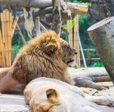 León que descansa por una leona el dormir en Everland, Corea imagen de archivo