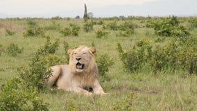 León que descansa sobre la hierba entre los arbustos debajo del sol caliente de la sabana metrajes