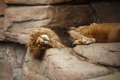 León que descansa sobre las rocas fotos de archivo libres de regalías