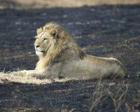 León que miente en el cráter de Ngorongoro en un área de la quemadura del control Fotografía de archivo libre de regalías