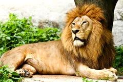 León que miente en parque zoológico Imágenes de archivo libres de regalías