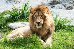 León que miente en parque zoológico del chiangmai Fotografía de archivo