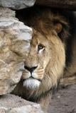 León que mira de detrás una roca Imagen de archivo