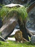 León que mira fijamente en el parque zoológico Imagen de archivo libre de regalías