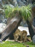 León que mira fijamente en el parque zoológico Imágenes de archivo libres de regalías