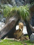 León que mira fijamente en el parque zoológico Fotografía de archivo