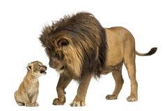 León que mira un cachorro de león Imagen de archivo