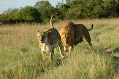León que persigue la leona Foto de archivo libre de regalías