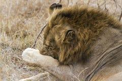 León que rasguña en la sabana de Kruger, Suráfrica Imagen de archivo libre de regalías