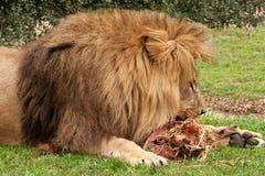 León que roe en la carne sin procesar Imagenes de archivo