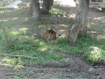 León que ruge en la tierra fotografía de archivo