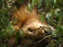 León que se relaja en el arbusto Fotografía de archivo