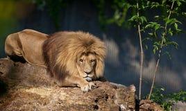 León que se relaja en parque zoológico Imagen de archivo
