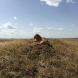 León que se sienta Fotografía de archivo libre de regalías