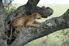 León que se sienta en el árbol - Serengeti, África fotos de archivo