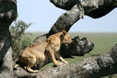 León que se sienta en el árbol - Serengeti, África foto de archivo libre de regalías