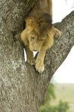 León que va abajo de un árbol Imagen de archivo