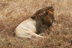 León soñoliento Fotografía de archivo