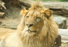 León soñoliento masculino en parque del safari Foto de archivo libre de regalías