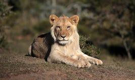 León sub joven del varón adulto Viñedo famoso de Kanonkop cerca de las montañas pintorescas en el resorte Foto de archivo libre de regalías