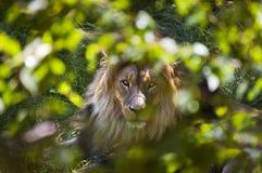 León a través de los arbustos Imagen de archivo libre de regalías