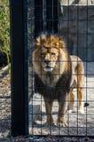 León triste en el parque zoológico Foto de archivo