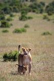 León y cachorros imagen de archivo