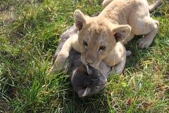 León y gato foto de archivo libre de regalías