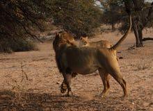 León y leona Foto de archivo libre de regalías