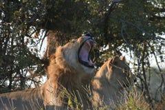 León y leona Foto de archivo